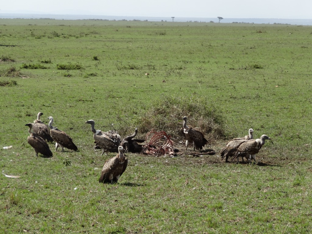 vultures in Kenya
